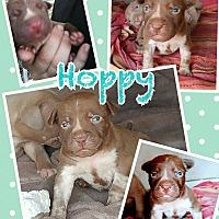 Adopt A Pet :: Hoppy - Hearne, TX