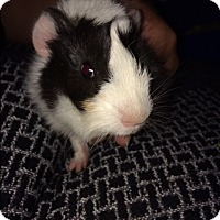 Guinea Pig for adoption in Waterbury, Connecticut - Gary, Graham, Gabby, and Ginny
