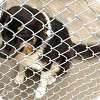 Adopt A Pet :: Chai - Boulder, CO