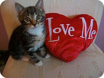 Domestic Shorthair Kitten for adoption in Tampa, Florida - Nicholette