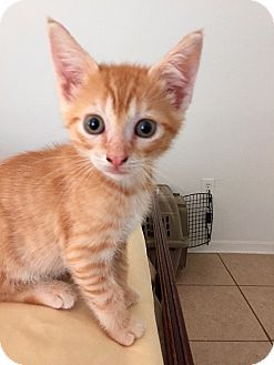 Domestic Shorthair Kitten for adoption in Tampa, Florida - Bowie