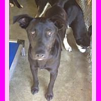 Adopt A Pet :: LAYLA - Allentown, PA