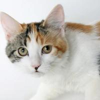 Adopt A Pet :: Mai Tai - Mountain Center, CA