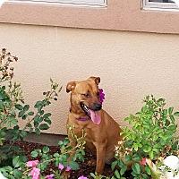 Adopt A Pet :: Dolly-B - Austin, TX
