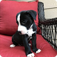 Bull Terrier/American Staffordshire Terrier Mix Puppy for adoption in Manchester, Vermont - Travis