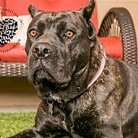 Adopt A Pet :: Amber - Inglewood, CA