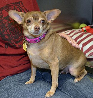Chihuahua Dog for adoption in Independence, Missouri - Shadow