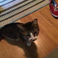 Adopt A Pet :: Shortcake - Stafford, VA