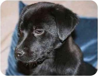 Labrador Retriever Mix Puppy for adoption in Evergreen, Colorado - Token