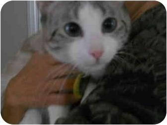Siamese Cat for adoption in Temecula, California - Jewel