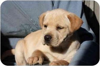 Bernese Mountain Dog/Labrador Retriever Mix Puppy for adoption in Prince William County, Virginia - tink