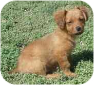 Dachshund/Spaniel (Unknown Type) Mix Puppy for adoption in Foster, Rhode Island - Noah