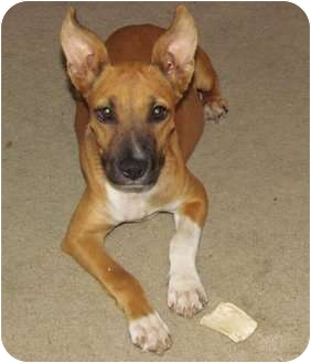 Great Dane Mix Puppy for adoption in Plano, Texas - Carlee
