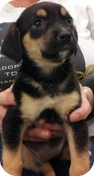 German Shepherd Dog/Cattle Dog Mix Puppy for adoption in Orland Park, Illinois - Female 2
