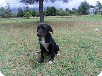 Labrador Retriever Mix Puppy for adoption in Naugatuck, Connecticut - Venus