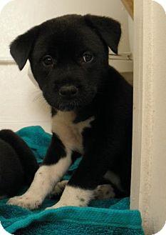 Labrador Retriever/Husky Mix Puppy for adoption in Gainesville, Florida - Ivy