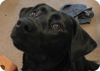 Labrador Retriever/Rottweiler Mix Puppy for adoption in Woodstock, Ontario - Charlotte (Char)