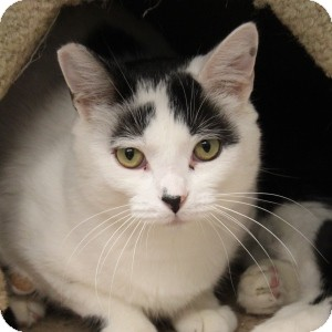 Domestic Shorthair Cat for adoption in Naperville, Illinois - Domino