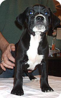 Boxer/Labrador Retriever Mix Puppy for adoption in Pinehurst, North Carolina - Hickory