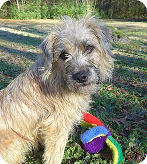 Wheaten Terrier/Cairn Terrier Mix Dog for adoption in Mocksville, North Carolina - Scruffy