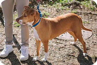 Beagle/Terrier (Unknown Type, Medium) Mix Dog for adoption in Hazel Park, Michigan - Dakota