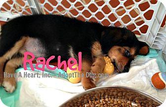 Spaniel (Unknown Type)/Basset Hound Mix Puppy for adoption in Boca Raton, Florida - RACHEL