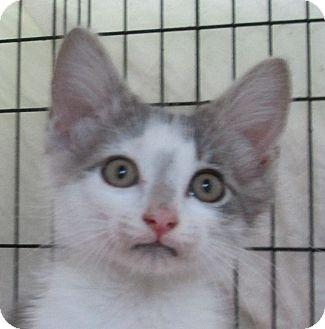 Domestic Shorthair Kitten for adoption in Pueblo West, Colorado - Rosco