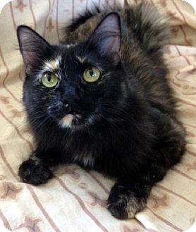 Domestic Shorthair Cat for adoption in Las Vegas, Nevada - Maddie