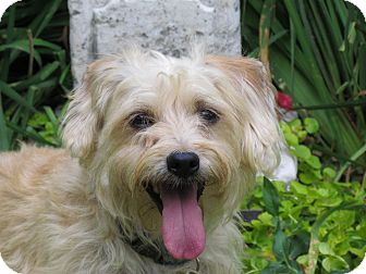 Yorkie, Yorkshire Terrier/Silky Terrier Mix Dog for adoption in Bedminster, New Jersey - CHAMP