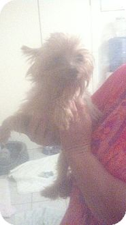 Yorkie, Yorkshire Terrier Dog for adoption in Crump, Tennessee - prissy