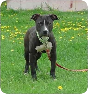 Pit Bull Terrier Puppy for adoption in Austin, Minnesota - Thumper