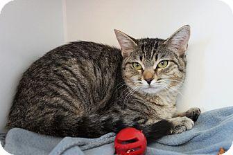 Domestic Shorthair Cat for adoption in Houston, Texas - Juniper