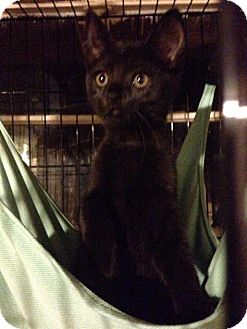 Domestic Shorthair Kitten for adoption in Franklin, West Virginia - Dee Dee