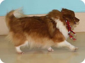 Pomeranian Dog for adoption in Newburgh, Indiana - Posh