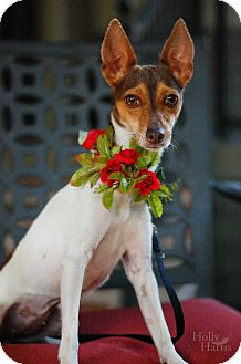 Manchester Terrier/Fox Terrier (Toy) Mix Dog for adoption in Baton Rouge, Louisiana - Coco