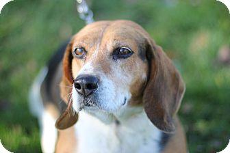 Beagle Dog for adoption in Midland, Michigan - Lady