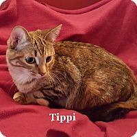 Adopt A Pet :: Tippi - Bentonville, AR