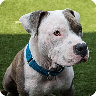 Pit Bull Terrier/English Bulldog Mix Puppy for adoption in Los Angeles, California - Canonball
