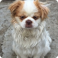 Adopt A Pet :: SELINA - SO CALIF, CA