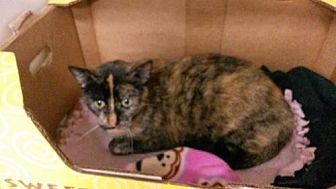 Domestic Shorthair Cat for adoption in Colfax, Illinois - Ms Cocoa