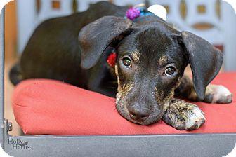 Hound (Unknown Type) Mix Puppy for adoption in Baton Rouge, Louisiana - AJ