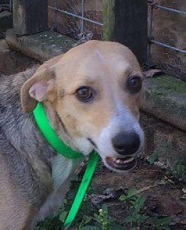 Hound (Unknown Type)/Labrador Retriever Mix Dog for adoption in Slidell, Louisiana - Skye