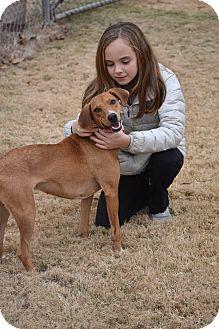 Labrador Retriever Mix Dog for adoption in Chicago, Illinois - Bella