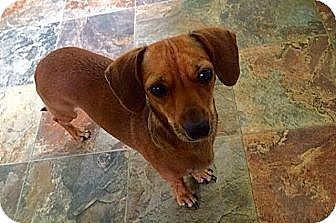 Dachshund/Chihuahua Mix Dog for adoption in Westport, Connecticut - Mollie
