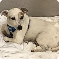 Adopt A Pet :: Petey - Jupiter, FL