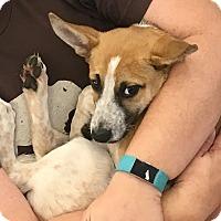Adopt A Pet :: Noel - Newport Beach, CA