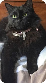 Domestic Longhair Cat for adoption in HILLSBORO, Oregon - Offered by Owner SAMANTHA - Maine Coon mix
