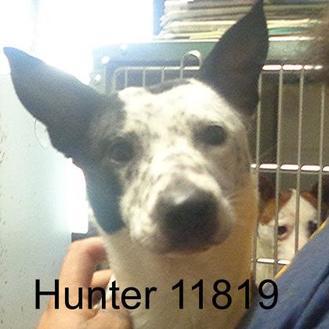 Australian Cattle Dog/Jack Russell Terrier Mix Dog for adoption in Manassas, Virginia - Hunter