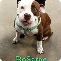 Adopt A Pet :: BoSarge - Pensacola, FL