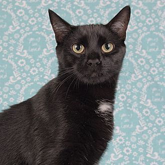 Domestic Shorthair Cat for adoption in Wilmington, Delaware - Lucky